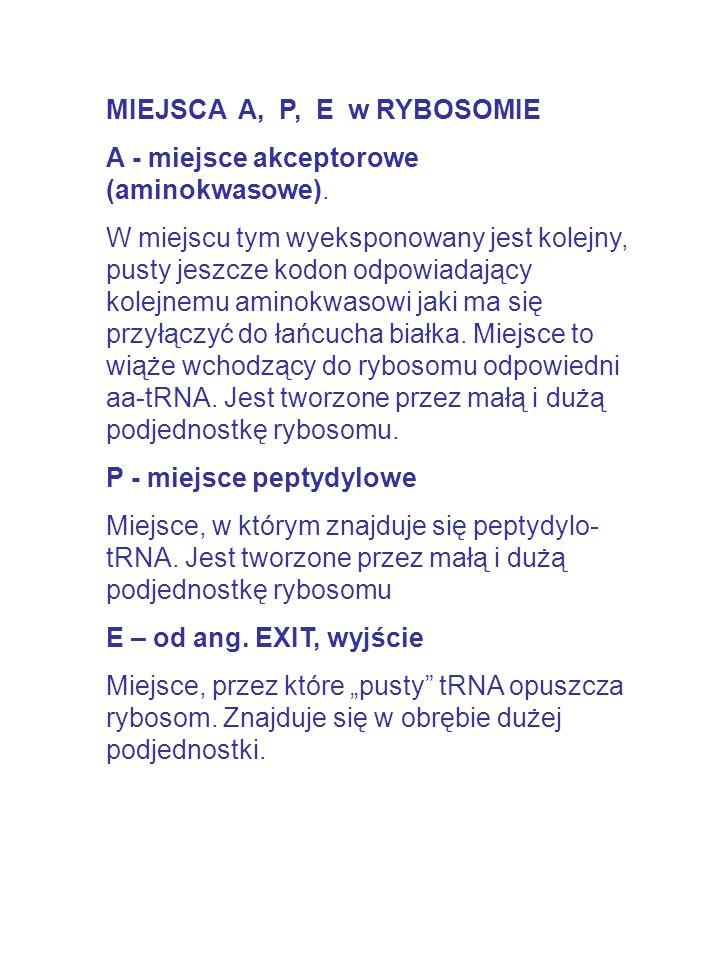 MIEJSCA A, P, E w RYBOSOMIE