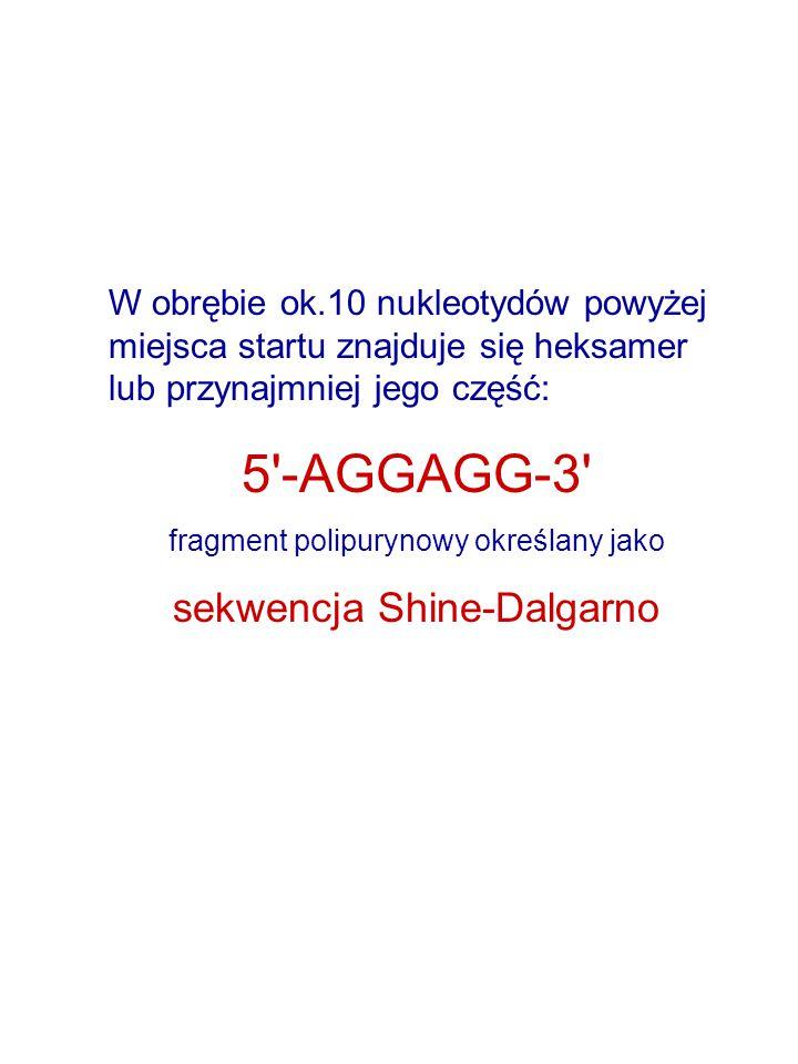 5 -AGGAGG-3 sekwencja Shine-Dalgarno