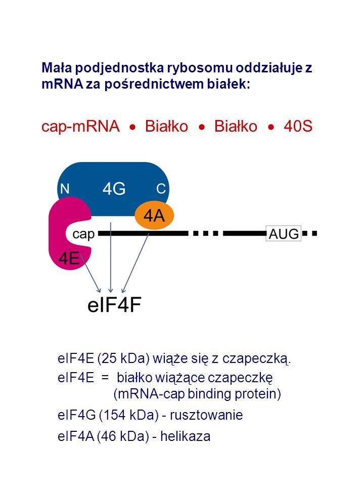 Mała podjednostka rybosomu oddziałuje z mRNA za pośrednictwem białek: