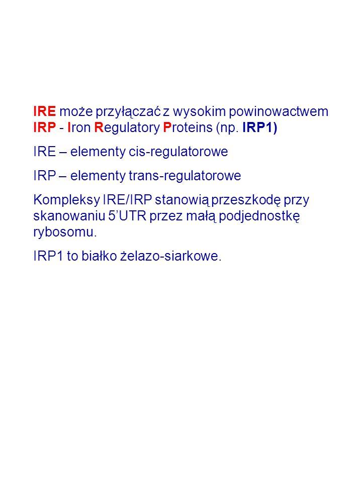 IRE może przyłączać z wysokim powinowactwem IRP - Iron Regulatory Proteins (np. IRP1)