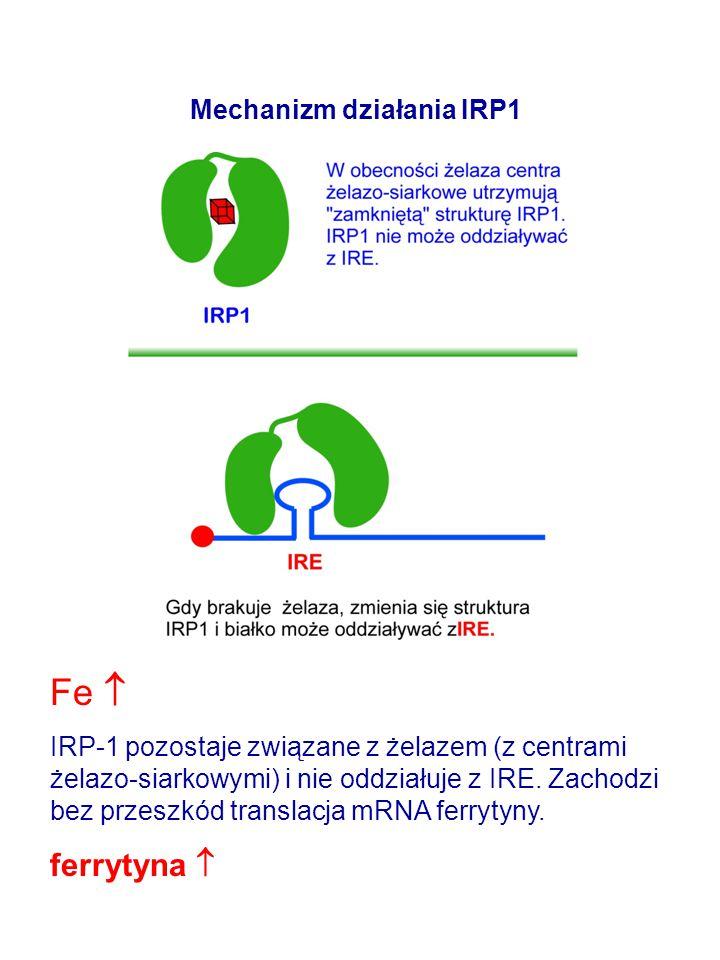 Mechanizm działania IRP1