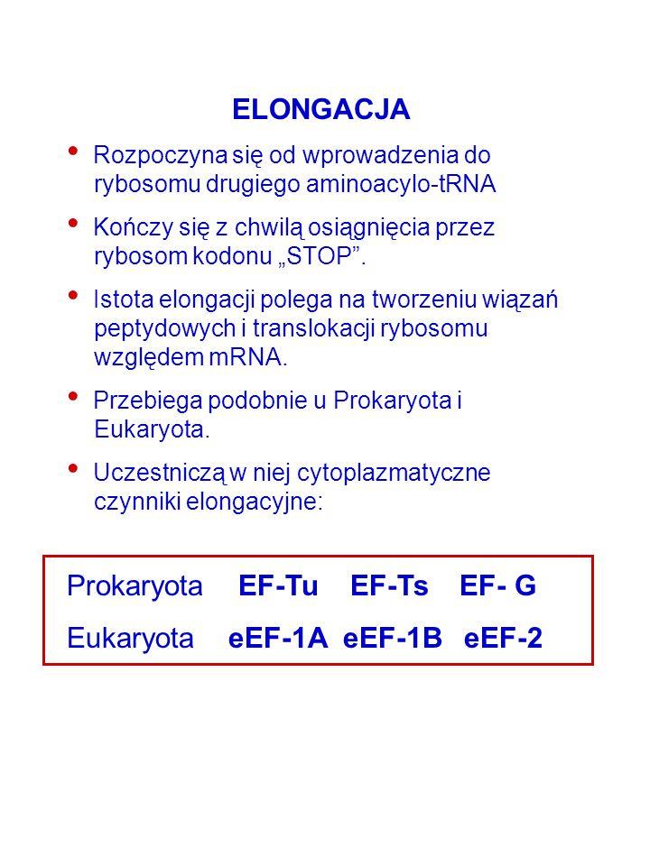 Prokaryota EF-Tu EF-Ts EF- G Eukaryota eEF-1A eEF-1B eEF-2