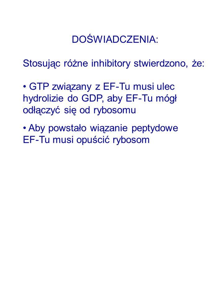 DOŚWIADCZENIA: Stosując różne inhibitory stwierdzono, że: GTP związany z EF-Tu musi ulec hydrolizie do GDP, aby EF-Tu mógł odłączyć się od rybosomu.