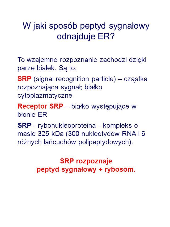 W jaki sposób peptyd sygnałowy odnajduje ER