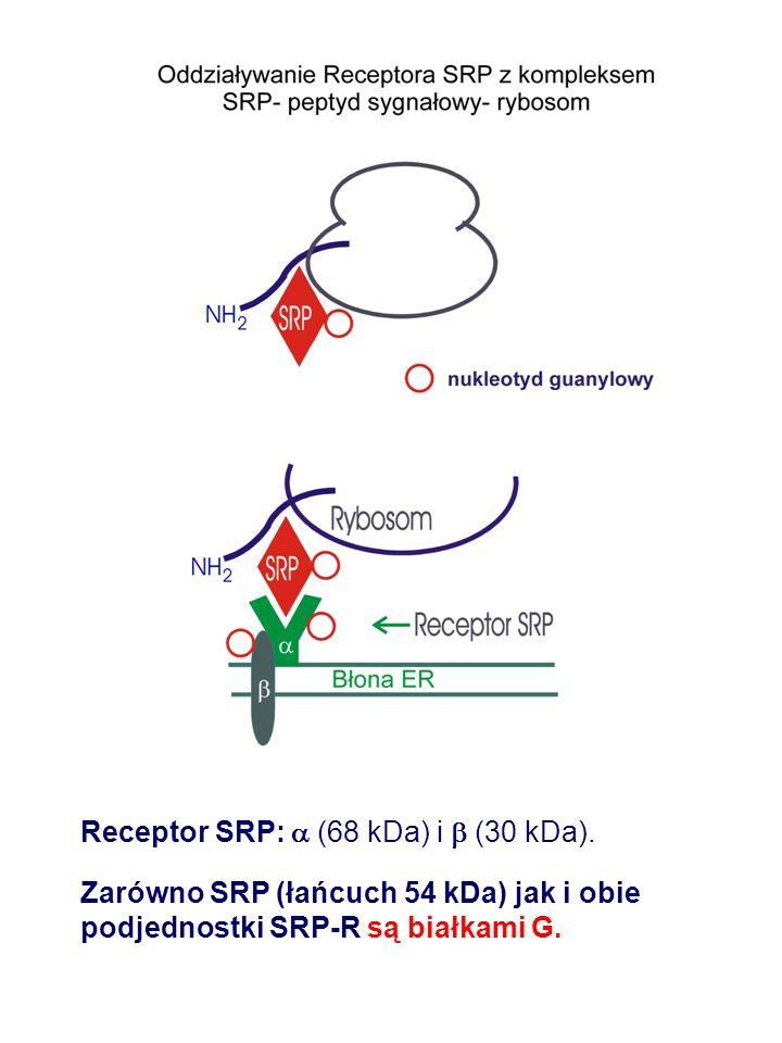 Receptor SRP:  (68 kDa) i  (30 kDa).