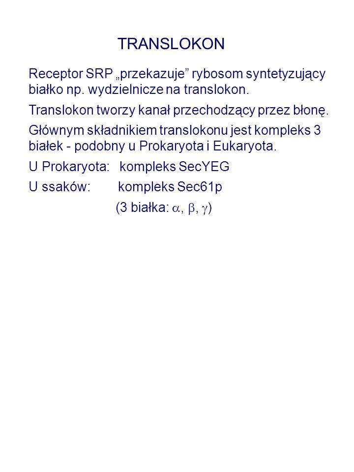 """TRANSLOKON Receptor SRP """"przekazuje rybosom syntetyzujący białko np. wydzielnicze na translokon. Translokon tworzy kanał przechodzący przez błonę."""