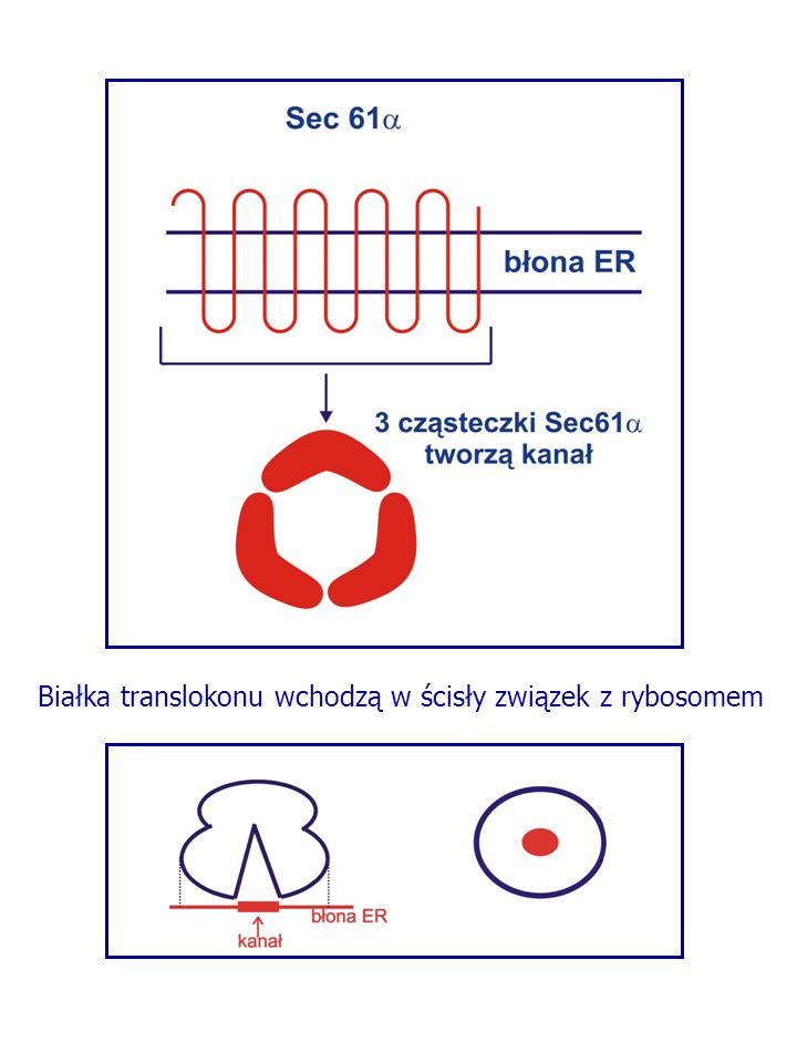 Białka translokonu wchodzą w ścisły związek z rybosomem