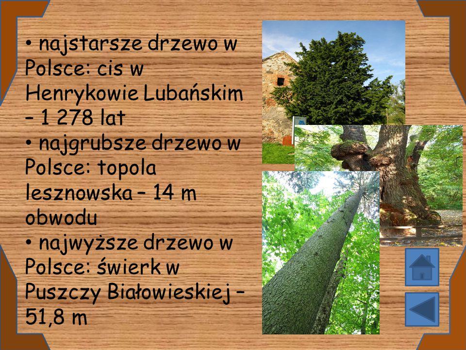 najstarsze drzewo w Polsce: cis w Henrykowie Lubańskim – 1 278 lat