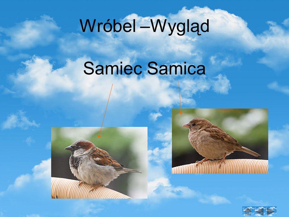 Wróbel –Wygląd Samiec Samica