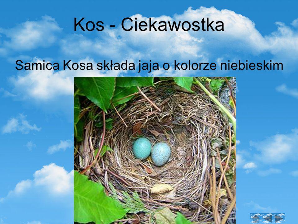 Samica Kosa składa jaja o kolorze niebieskim