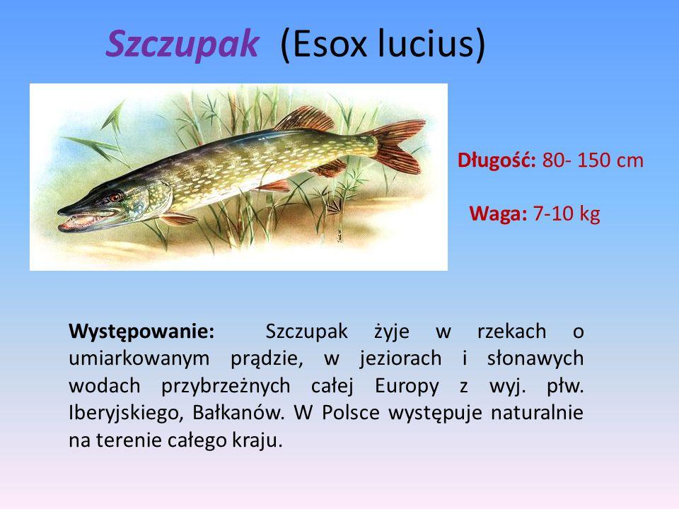 Szczupak (Esox lucius)