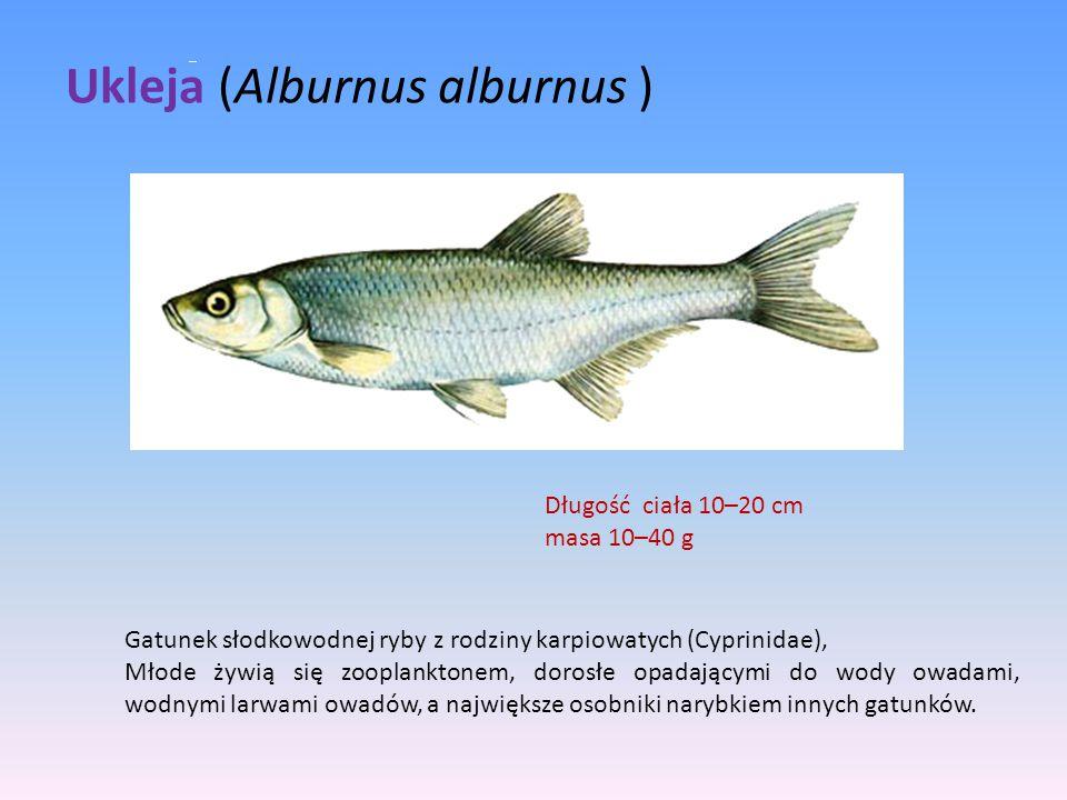 Ukleja (Alburnus alburnus )