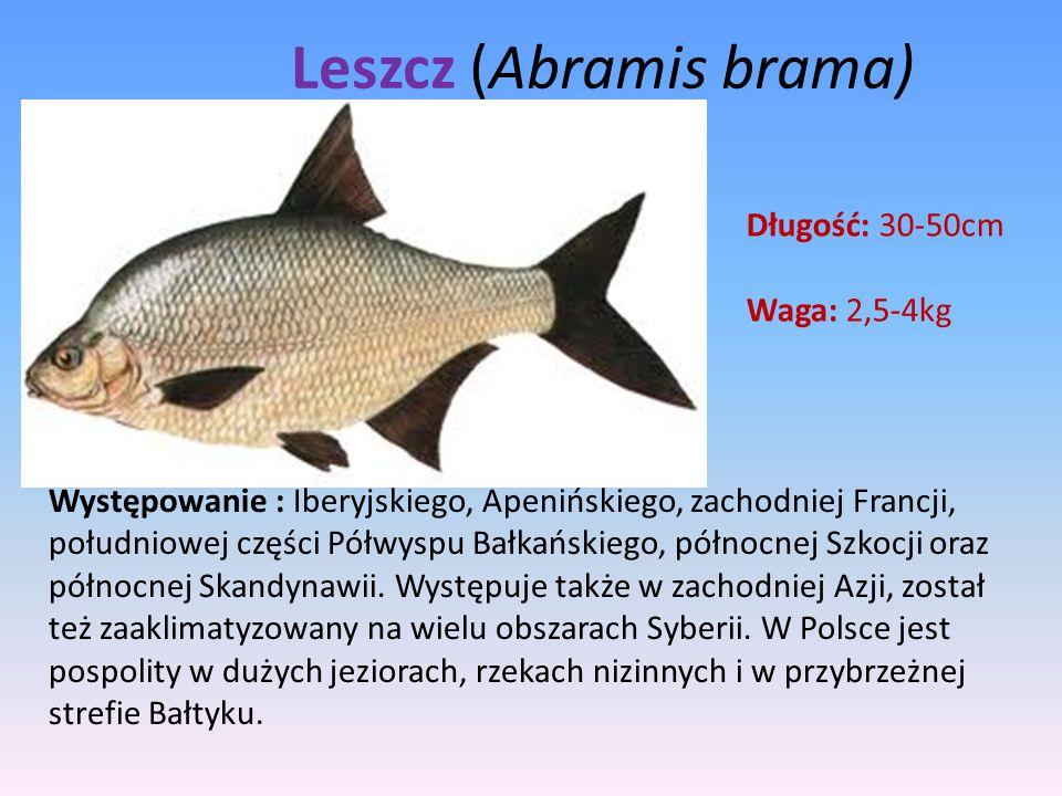 Leszcz (Abramis brama)
