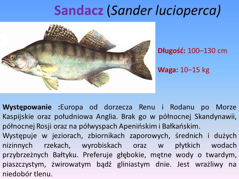 Sandacz (Sander lucioperca)