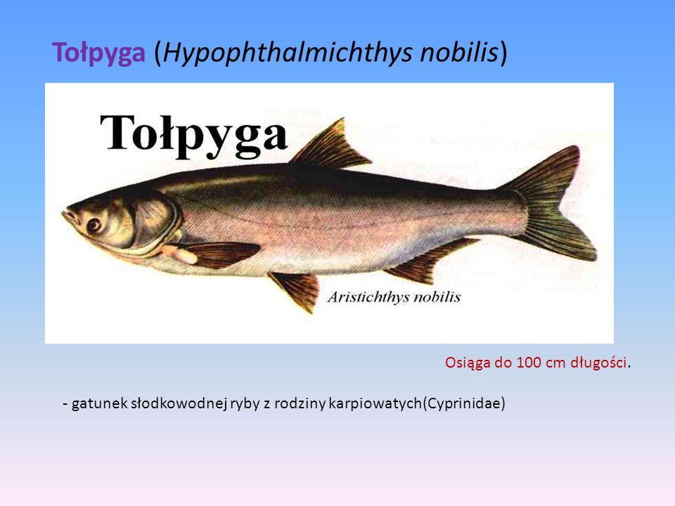 Tołpyga (Hypophthalmichthys nobilis)