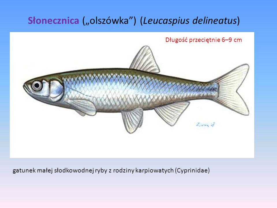 "Słonecznica (""olszówka ) (Leucaspius delineatus)"