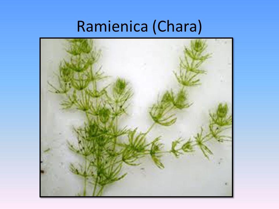 Ramienica (Chara)