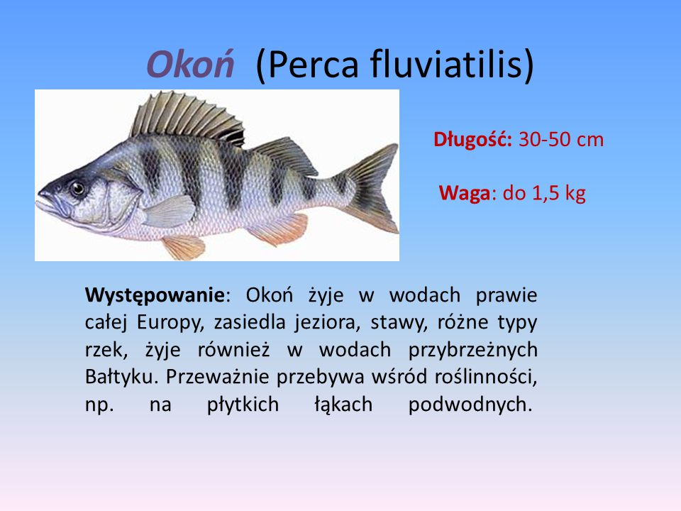 Okoń (Perca fluviatilis)