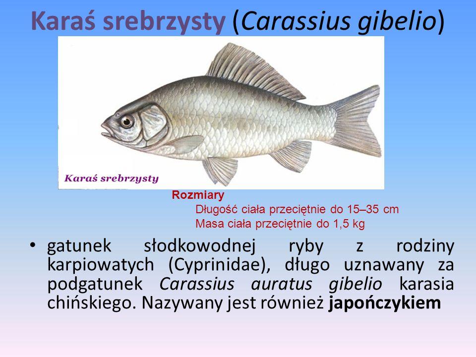 Karaś srebrzysty (Carassius gibelio)