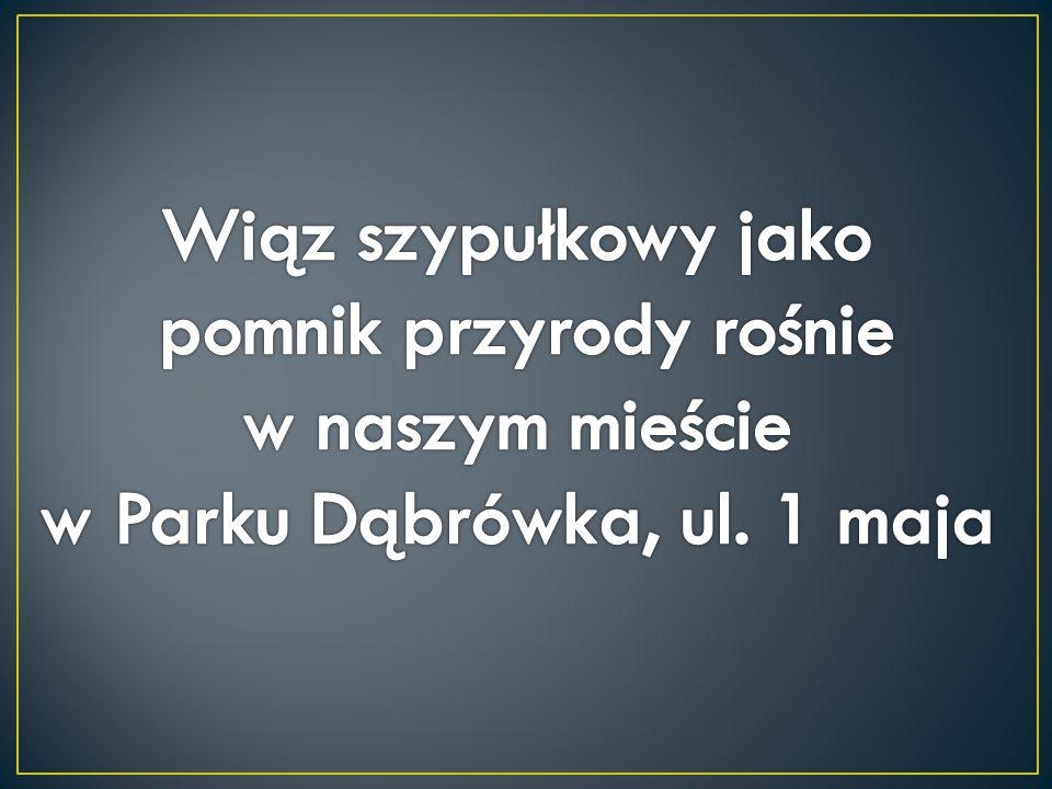 pomnik przyrody rośnie w naszym mieście w Parku Dąbrówka, ul. 1 maja