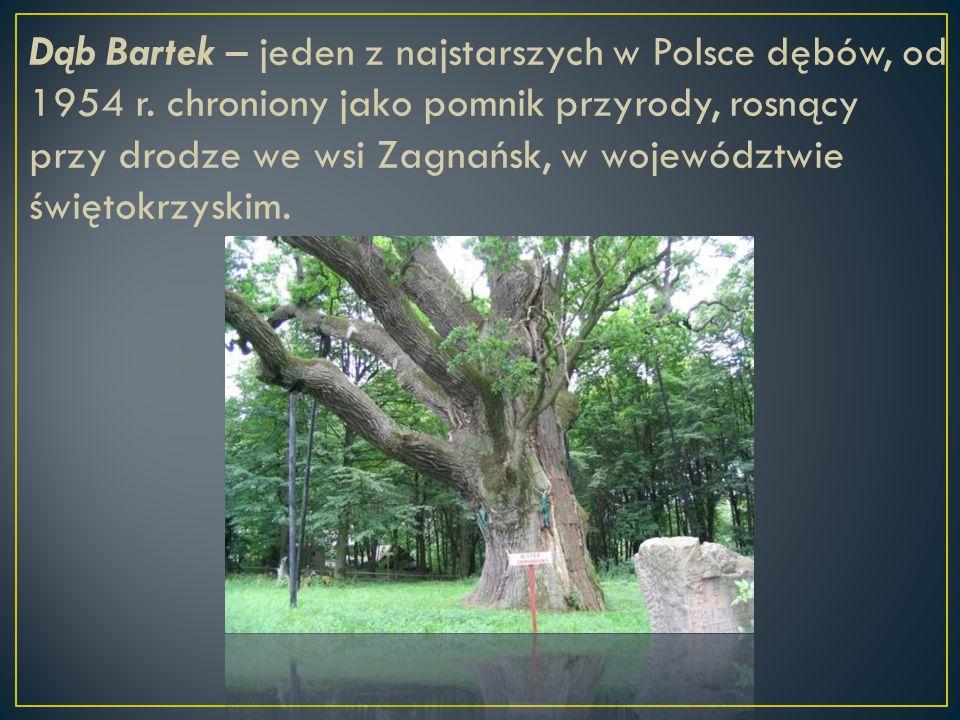 Dąb Bartek – jeden z najstarszych w Polsce dębów, od 1954 r