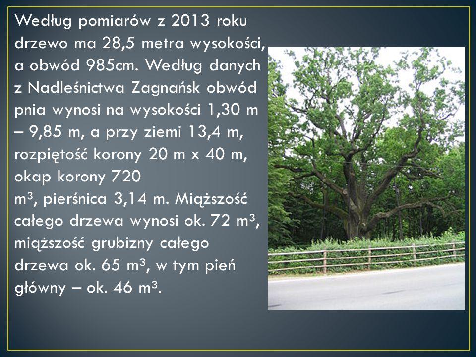 Według pomiarów z 2013 roku drzewo ma 28,5 metra wysokości, a obwód 985cm.