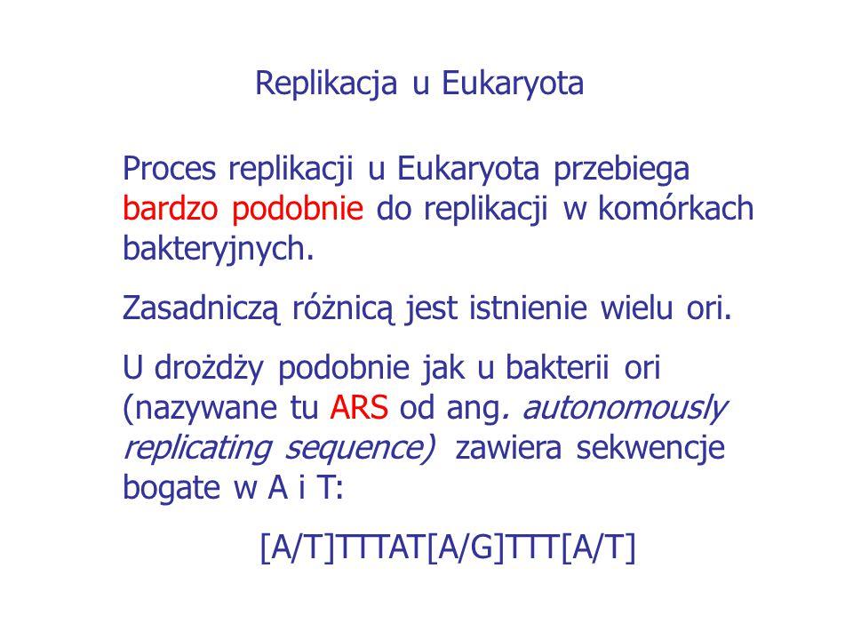 Replikacja u Eukaryota
