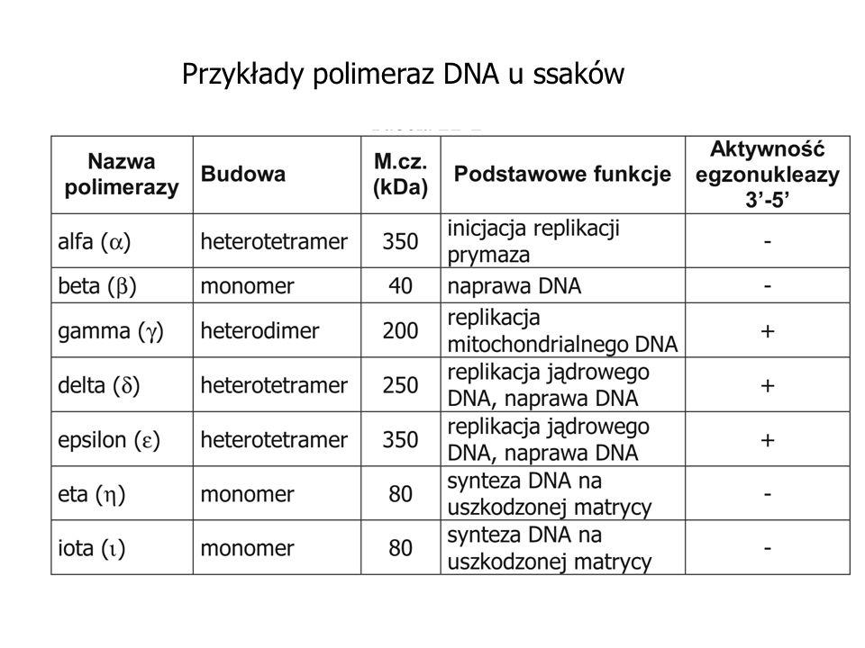 Przykłady polimeraz DNA u ssaków