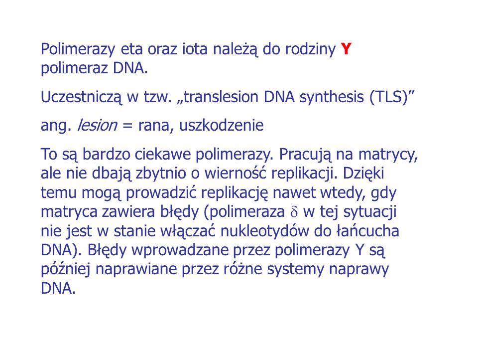 Polimerazy eta oraz iota należą do rodziny Y polimeraz DNA.