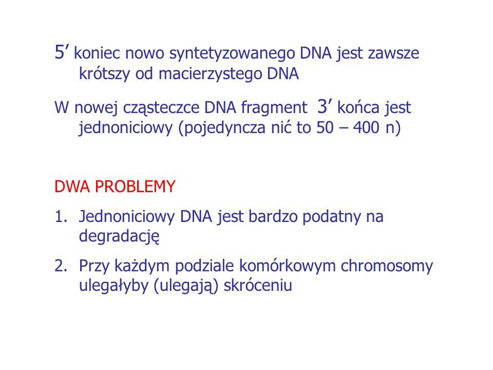 5' koniec nowo syntetyzowanego DNA jest zawsze krótszy od macierzystego DNA