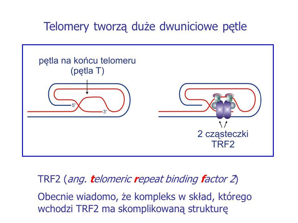 Telomery tworzą duże dwuniciowe pętle