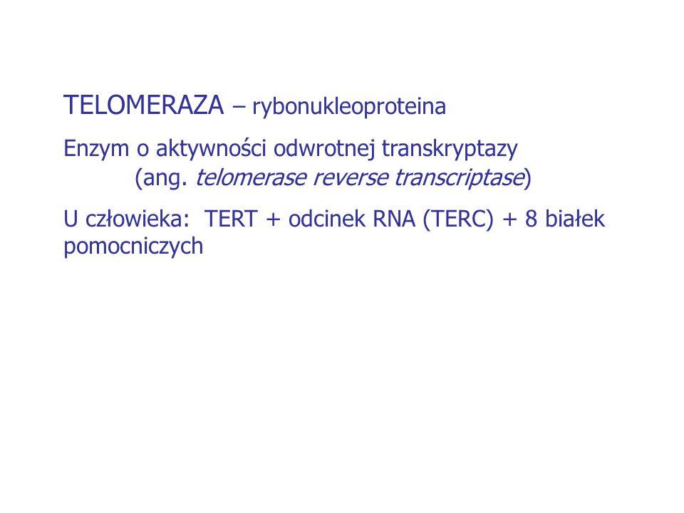 TELOMERAZA – rybonukleoproteina