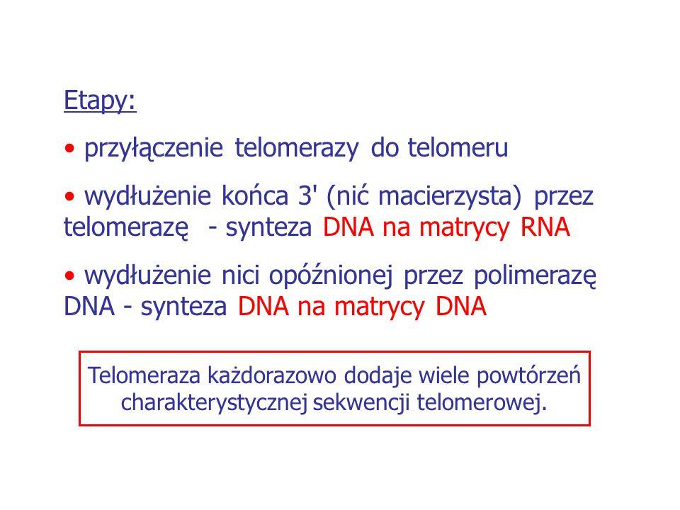 przyłączenie telomerazy do telomeru