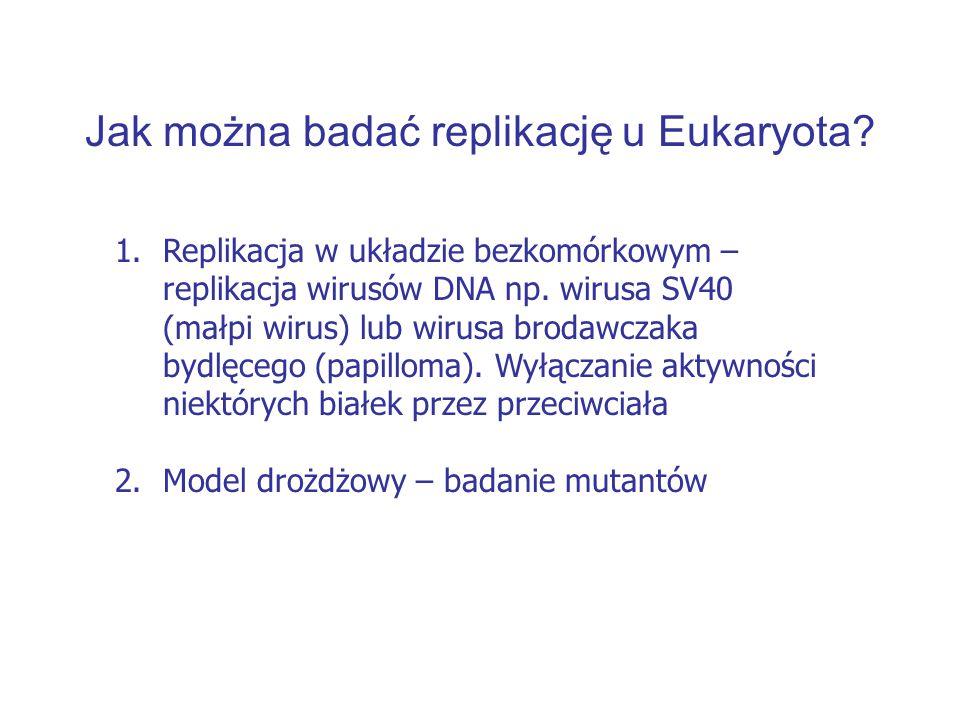 Jak można badać replikację u Eukaryota