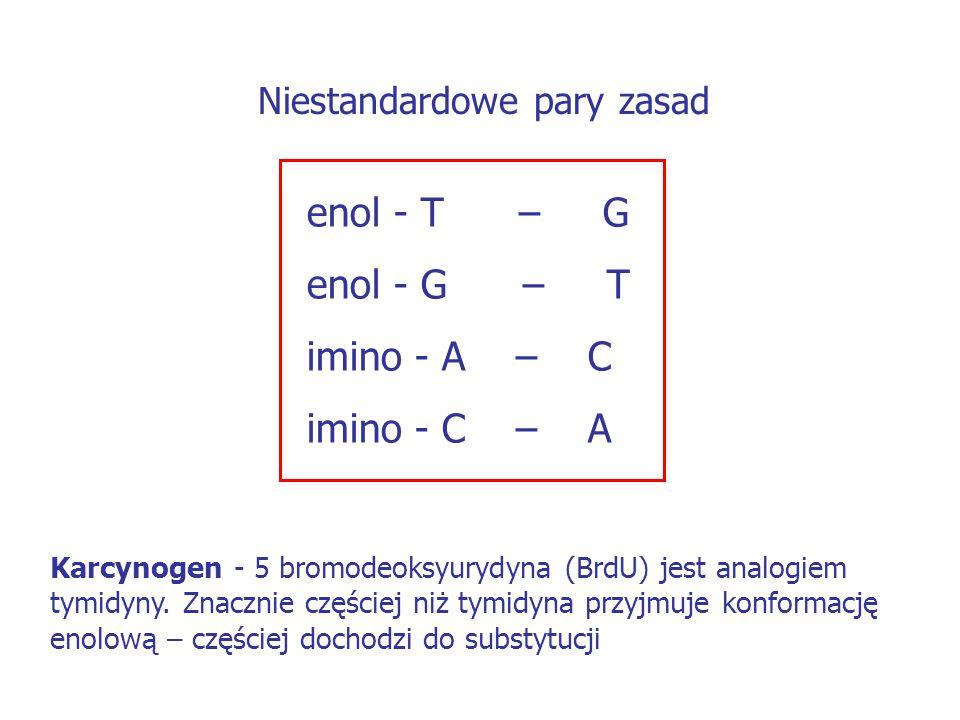 enol - T – G enol - G – T imino - A – C imino - C – A