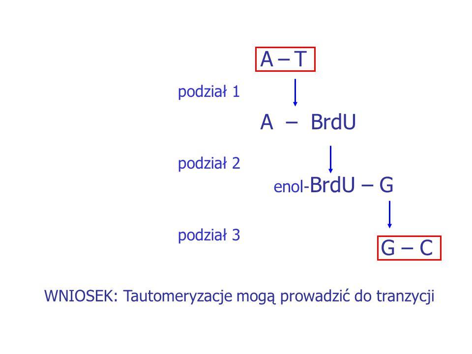 A – T A – BrdU enol-BrdU – G G – C podział 1 podział 2 podział 3
