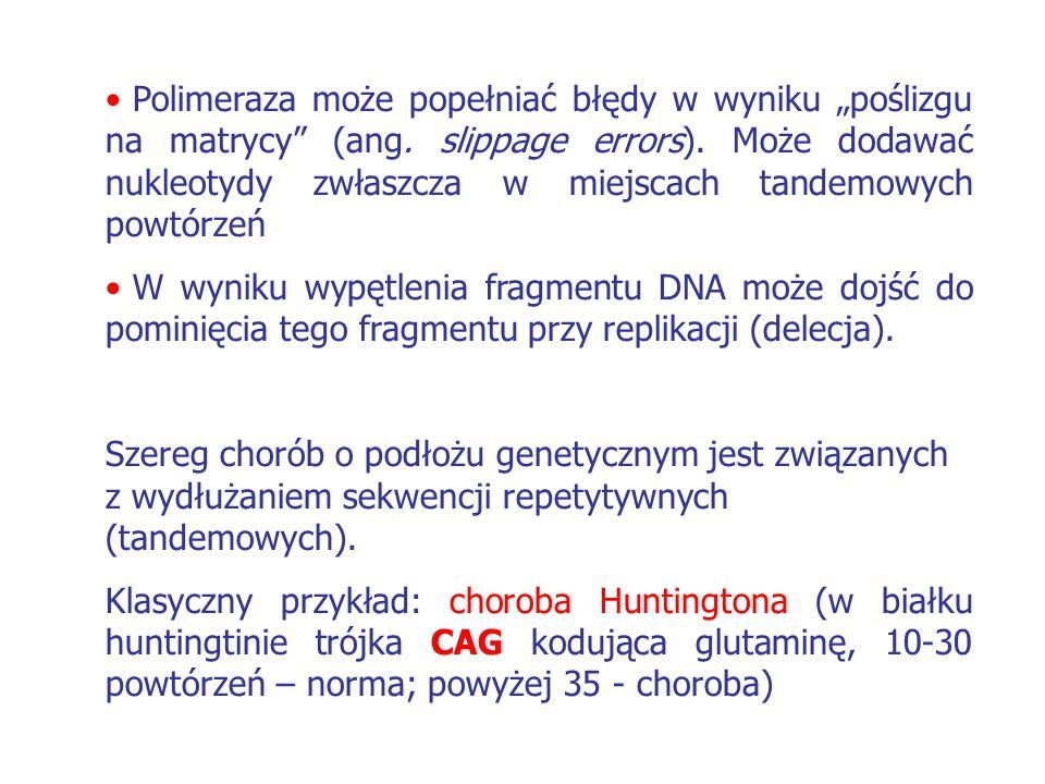 """Polimeraza może popełniać błędy w wyniku """"poślizgu na matrycy (ang"""