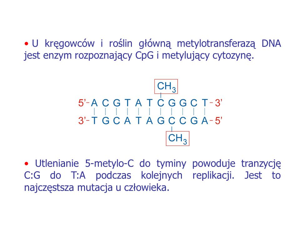 U kręgowców i roślin główną metylotransferazą DNA jest enzym rozpoznający CpG i metylujący cytozynę.