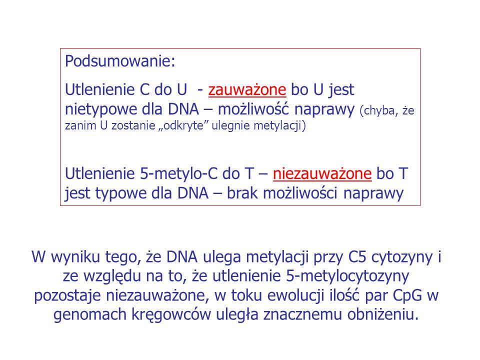 """Podsumowanie: Utlenienie C do U - zauważone bo U jest nietypowe dla DNA – możliwość naprawy (chyba, że zanim U zostanie """"odkryte ulegnie metylacji)"""