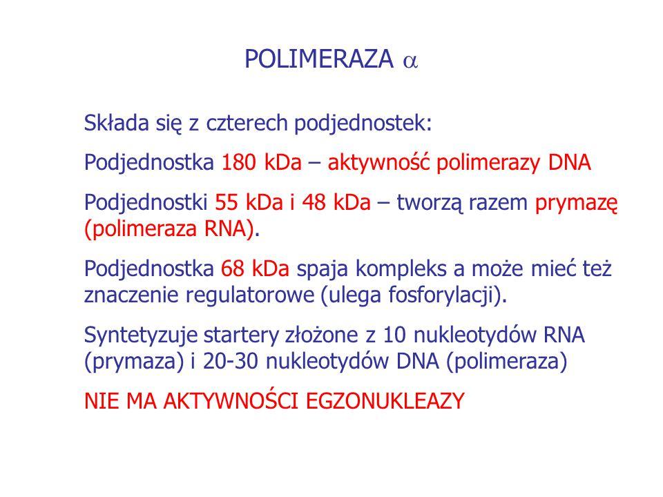 POLIMERAZA a Składa się z czterech podjednostek:
