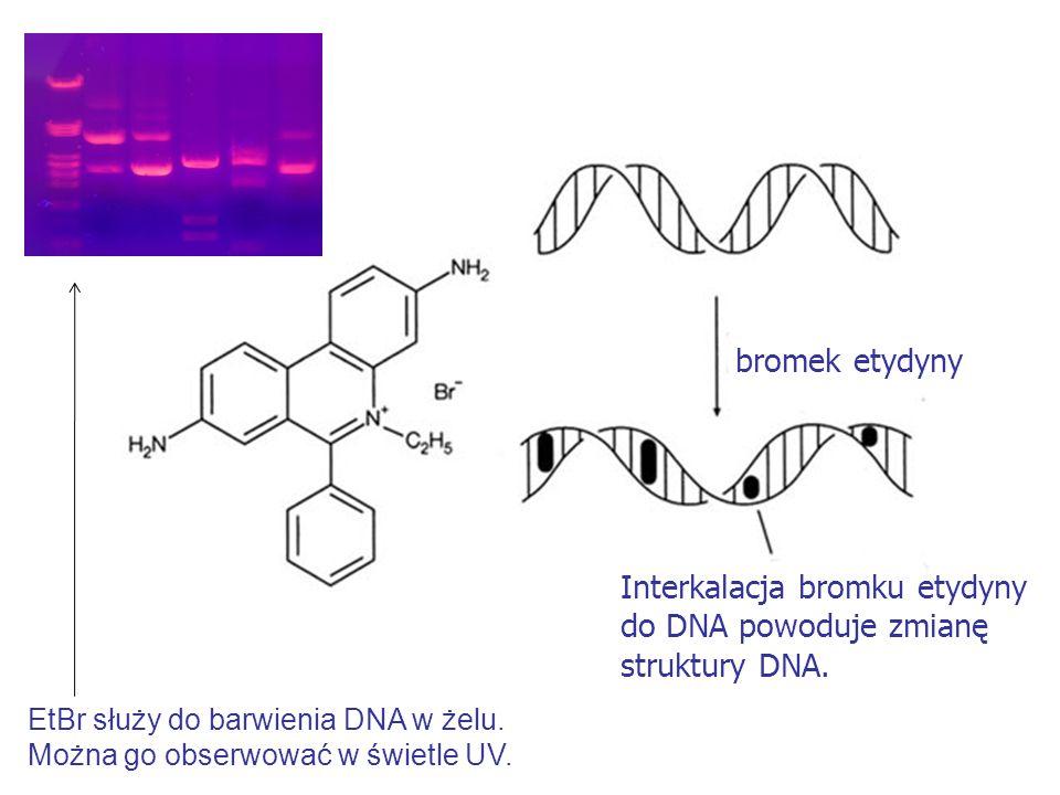 Interkalacja bromku etydyny do DNA powoduje zmianę struktury DNA.