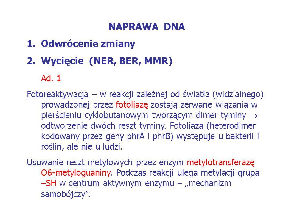 NAPRAWA DNA Odwrócenie zmiany Wycięcie (NER, BER, MMR) Ad. 1