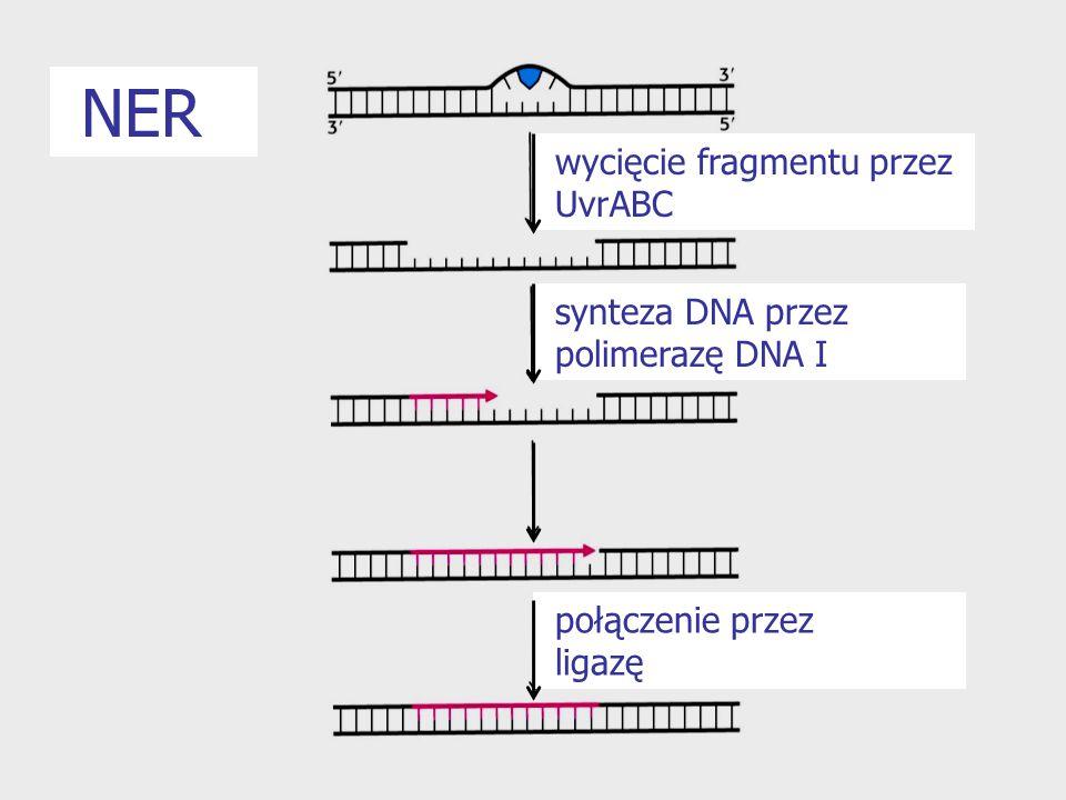NER wycięcie fragmentu przez UvrABC synteza DNA przez polimerazę DNA I