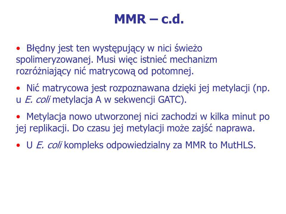 MMR – c.d. Błędny jest ten występujący w nici świeżo spolimeryzowanej. Musi więc istnieć mechanizm rozróżniający nić matrycową od potomnej.