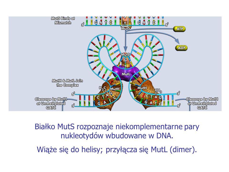 Wiąże się do helisy; przyłącza się MutL (dimer).