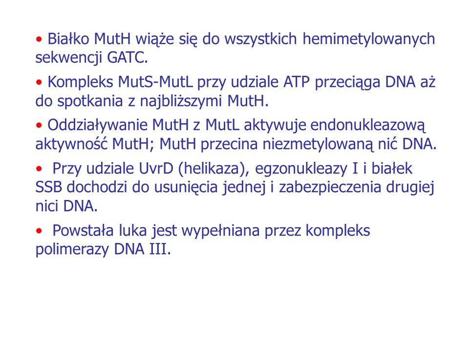 Białko MutH wiąże się do wszystkich hemimetylowanych sekwencji GATC.