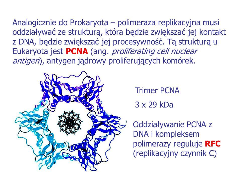 Analogicznie do Prokaryota – polimeraza replikacyjna musi oddziaływać ze strukturą, która będzie zwiększać jej kontakt z DNA, będzie zwiększać jej procesywność. Tą strukturą u Eukaryota jest PCNA (ang. proliferating cell nuclear antigen), antygen jądrowy proliferujących komórek.