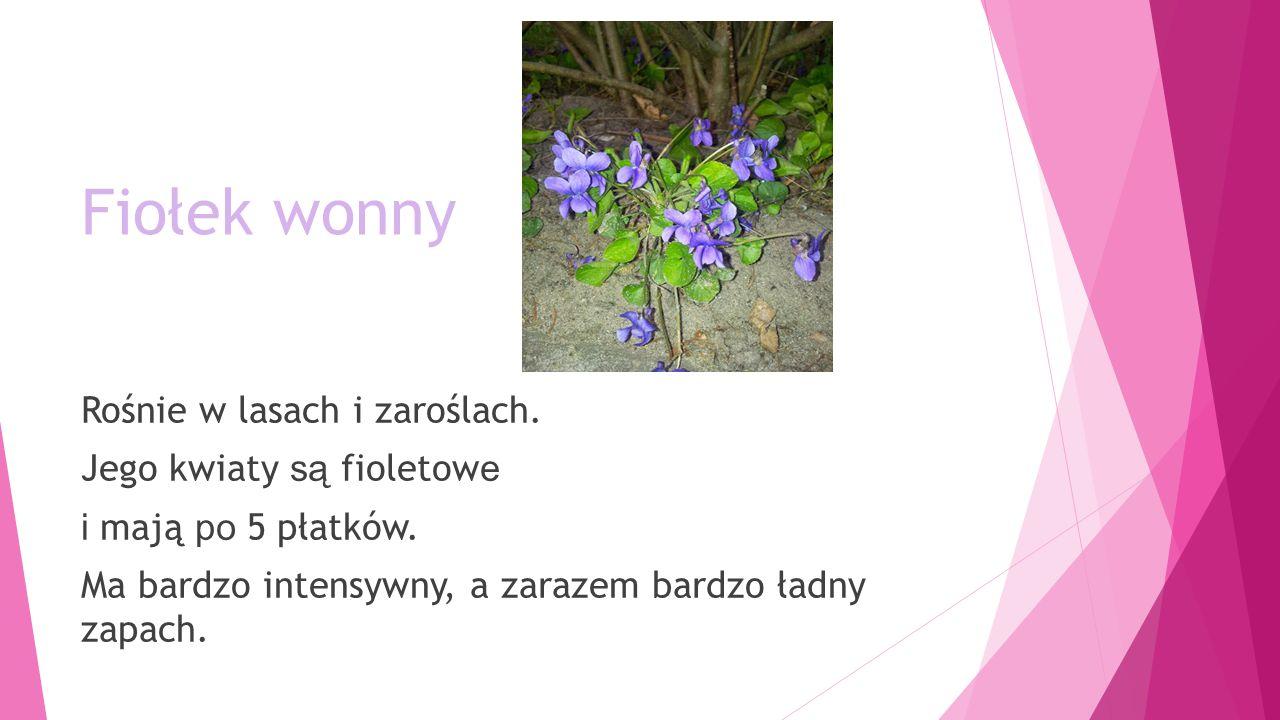 Fiołek wonny Rośnie w lasach i zaroślach. Jego kwiaty są fioletowe i mają po 5 płatków.