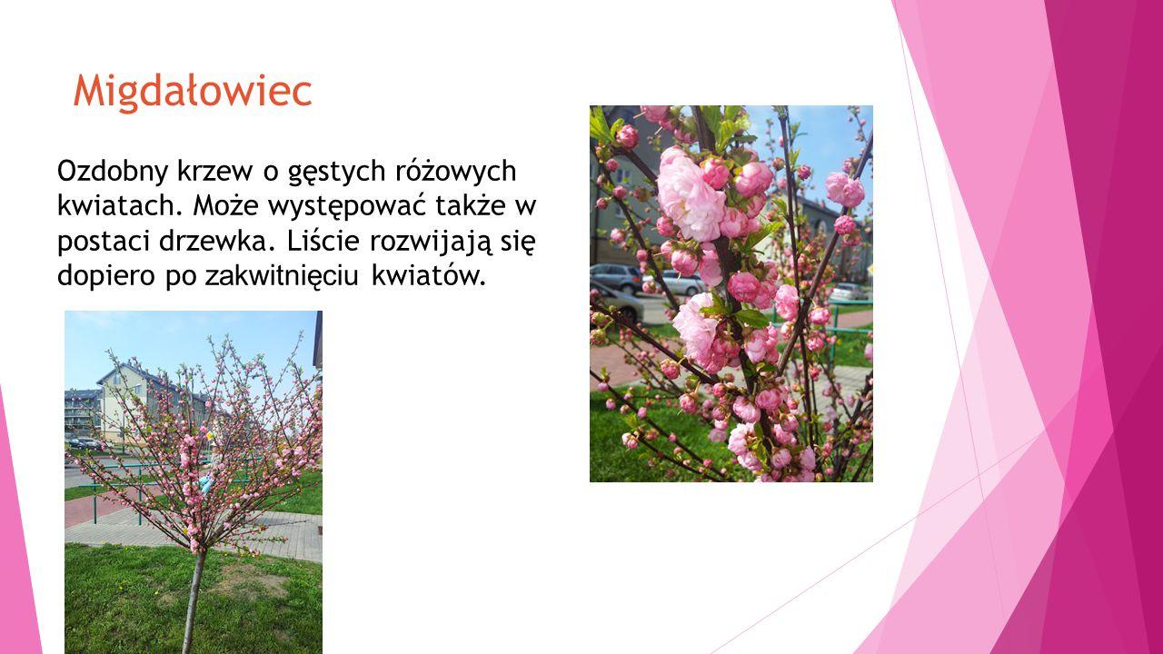 Migdałowiec Ozdobny krzew o gęstych różowych kwiatach.
