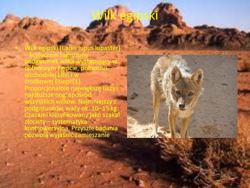 Wilk egipski